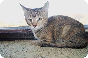Domestic Shorthair Kitten for adoption in Medford, Wisconsin - EVA