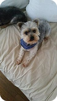 Yorkie, Yorkshire Terrier Dog for adoption in West Palm Beach, Florida - Teddy