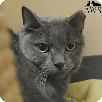 Domestic Shorthair Cat for adoption in West Kennebunk, Maine - Miss Kitty