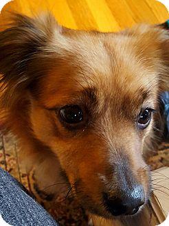 Dachshund/Tibetan Spaniel Mix Dog for adoption in Worcester, Massachusetts - Benny