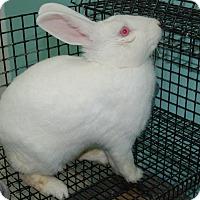 Adopt A Pet :: Peter - Fairfax, VA