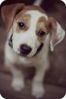 Border Collie/Cattle Dog Mix Puppy for adoption in Fredericksburg, Virginia - Katie