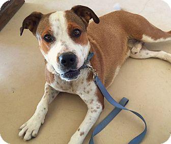 Terrier (Unknown Type, Medium)/Boxer Mix Dog for adoption in Wickenburg, Arizona - Jack