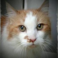 Domestic Longhair Cat for adoption in Pueblo West, Colorado - Rose