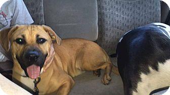 Black Mouth Cur Mix Dog for adoption in Sanford, North Carolina - Buster (BB)