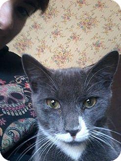 Domestic Shorthair Kitten for adoption in Acushnet, Massachusetts - Clark