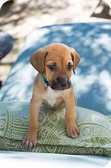 Hound (Unknown Type) Mix Puppy for adoption in Vancouver, British Columbia - Belle