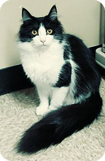 Domestic Mediumhair Cat for adoption in Yorba Linda, California - Callie