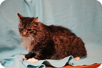 Maine Coon Cat for adoption in Spring Valley, New York - Goliath