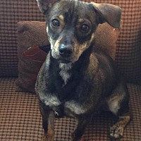 Terrier (Unknown Type, Small) Mix Dog for adoption in oxford, New Jersey - Clyde