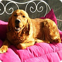 Adopt A Pet :: Amber - Washington, DC