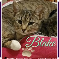 Domestic Shorthair Cat for adoption in Gonic, New Hampshire - Blake