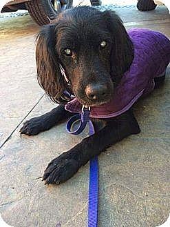 Spaniel (Unknown Type)/Flat-Coated Retriever Mix Dog for adoption in Cerritos, California - Victoria (Blind)