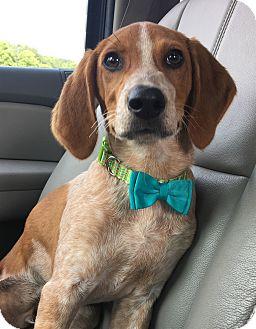 Foxhound/Pointer Mix Puppy for adoption in Virginia Beach, Virginia - Scooby