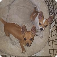 Adopt A Pet :: Mia - Guest - Dallas, TX