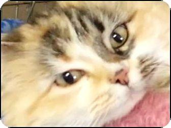 Domestic Longhair Cat for adoption in Alturas, California - Stella