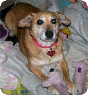 Jack Russell Terrier/Rat Terrier Mix Dog for adoption in Latrobe, Pennsylvania - Bella
