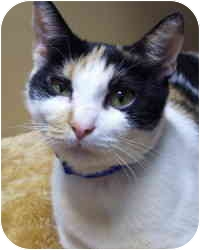 Calico Cat for adoption in Bloomingdale, New Jersey - Pat Benatar