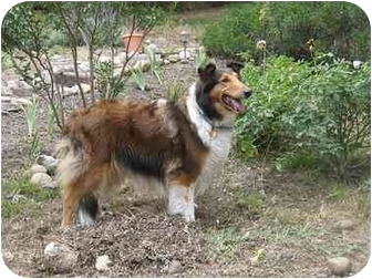 Collie Dog for adoption in Trabuco Canyon, California - Lassie