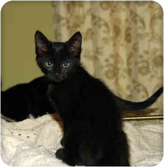 American Shorthair Kitten for adoption in Cranford, New Jersey - Pickes