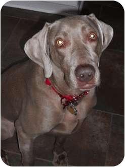 Weimaraner Dog for adoption in Grand Haven, Michigan - Byron