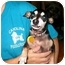 Photo 1 - Chihuahua Dog for adoption in Baltimore, Maryland - Pee-Wee