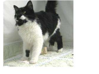 Domestic Shorthair Cat for adoption in North Kingstown, Rhode Island - Crystal