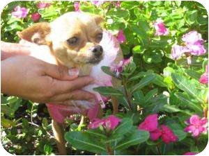 Chihuahua Dog for adoption in New Milford, Connecticut - Nina