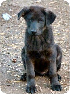 Labrador Retriever Mix Puppy for adoption in Merritt, British Columbia - Puppy #6