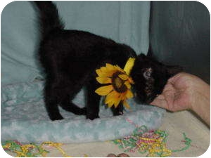 Bombay Kitten for adoption in McDonough, Georgia - Chic