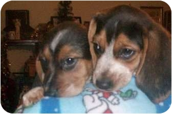 Beagle Puppy for adoption in Ventnor City, New Jersey - POLLY'S BOYS