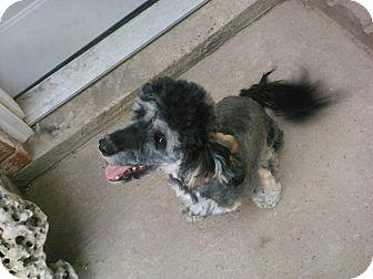 Poodle (Miniature)/Poodle (Miniature) Mix Dog for adoption in Houston, Texas - Ozzy