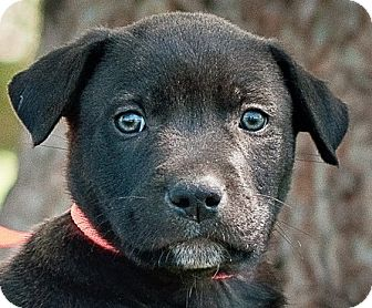 Labrador Retriever Mix Puppy for adoption in Portsmouth, Rhode Island - Cumin