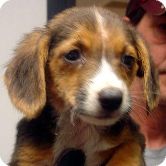 Beagle Mix Puppy for adoption in Manassas, Virginia - Key