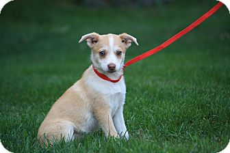 Corgi Mix Puppy for adoption in West Milford, New Jersey - TIPPER- green eyes!