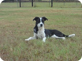 Border Collie Mix Dog for adoption in San Antonio, Texas - Stevey