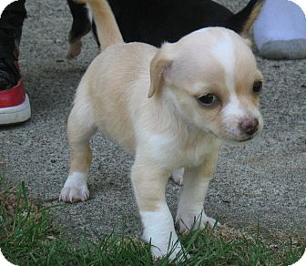 Chihuahua/Terrier (Unknown Type, Small) Mix Puppy for adoption in Tumwater, Washington - Blondie