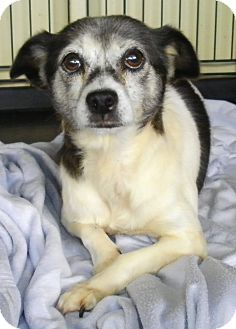 Rat Terrier/Terrier (Unknown Type, Small) Mix Dog for adoption in Lincolnton, North Carolina - Mona