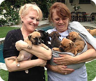 Pit Bull Terrier/Labrador Retriever Mix Puppy for adoption in Santa Monica, California - Gossip Gang
