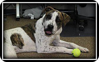 Blue Heeler/Labrador Retriever Mix Dog for adoption in Indian Trail, North Carolina - Roxy