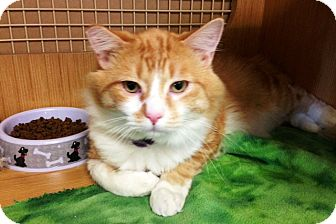 Exotic Cat for adoption in El Dorado Hills, California - KITTY