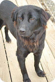 Flat-Coated Retriever Mix Dog for adoption in Berea, Ohio - Josie