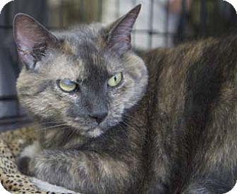 Calico Cat for adoption in Merrifield, Virginia - SP3