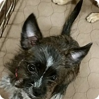 Adopt A Pet :: Flora - soft wirey coat - Phoenix, AZ