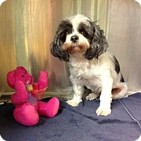 Adopt A Pet :: Paisley - Shawnee Mission, KS