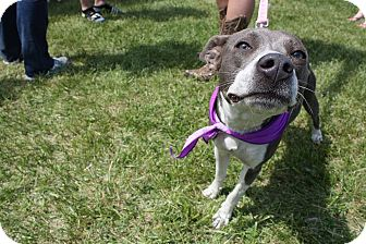 Italian Greyhound Mix Puppy for adoption in De Soto, Missouri - Abby