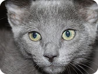Domestic Shorthair Kitten for adoption in Hawthorne, California - Blueberry