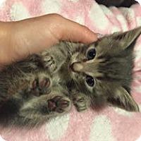Adopt A Pet :: Tiny Tim - Edmonton, AB