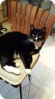 Domestic Shorthair Cat for adoption in Queensbury, New York - Bo