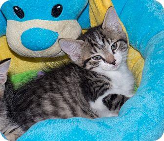 Domestic Shorthair Kitten for adoption in Elmwood Park, New Jersey - Simon